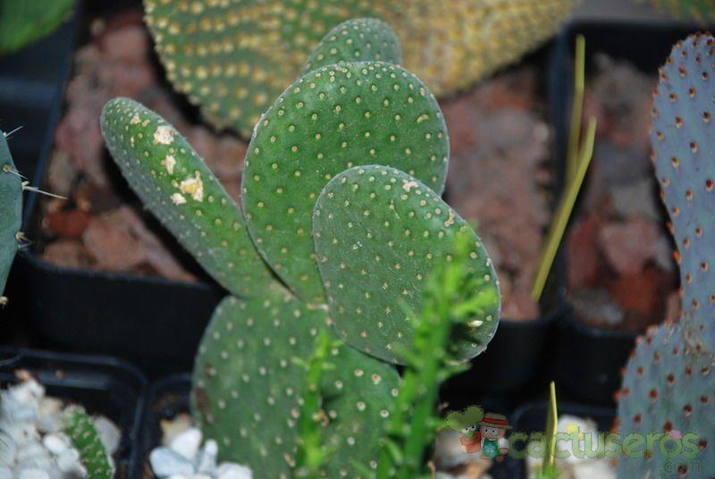 opuntia microdasys cv  caress
